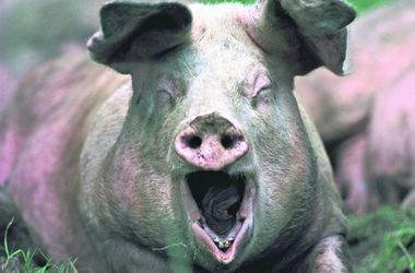 Вот это кадр! Вы когда-нибудь<br />видели зевающую свинью? Смотрите! Зевать она на вас хотела!