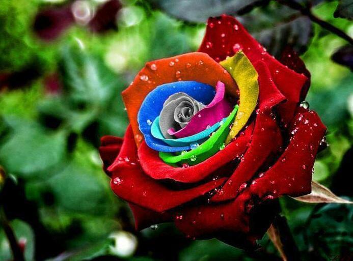 colorful-rose-flowers-34879908-693-513.jpg