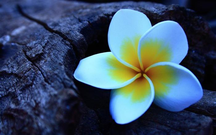 frangipani_-Flowers_photography_Wallpaper_medium.jpg
