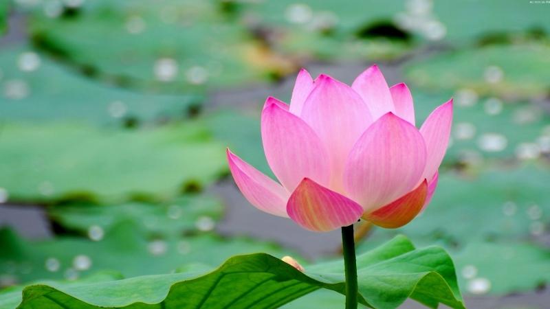 krasivyy-tsvetok-lotosa.jpg