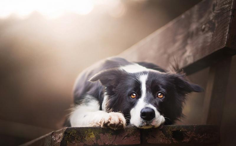 Dogs_Border_Collie_Bench_Glance_Cute_Beautiful_519228_1280x793.jpg