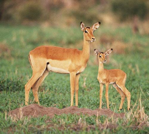 impala-3.jpg