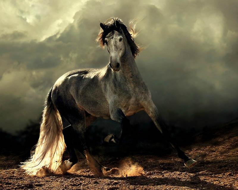 Andalusianhorse.jpg