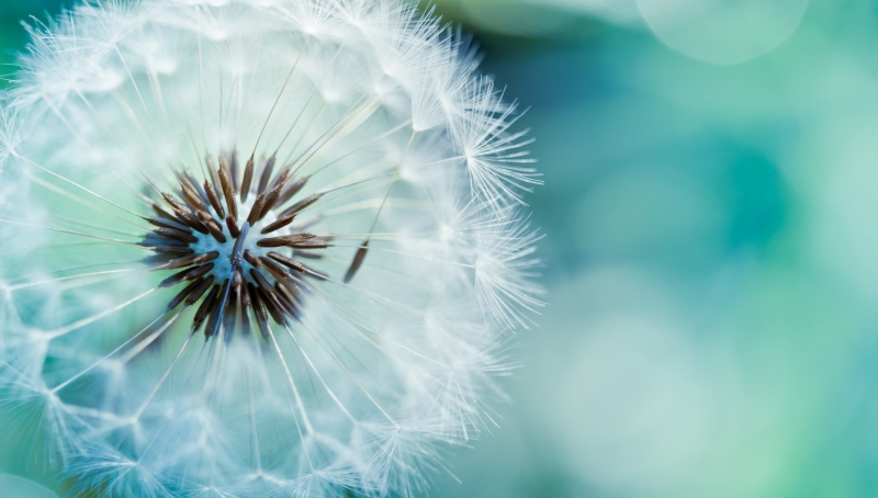 Dandelion-Flower-HD-Wallpapers.jpg