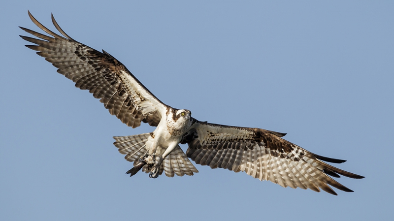 Osprey_AlfredForns_AudubonPotographyAward.jpg