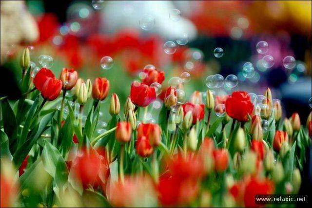 Tulips_024.jpg