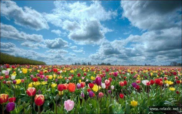 Tulips_025.jpg