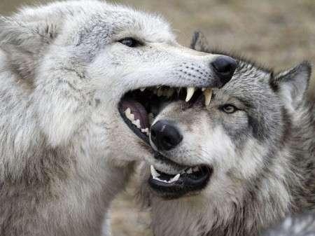 Wolfs-001-DogHusky.ru_.jpg