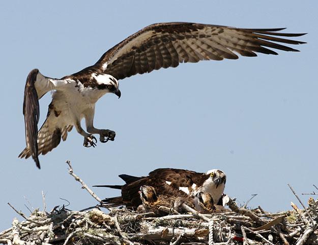 ba-Osprey_Family_0501428998.jpg