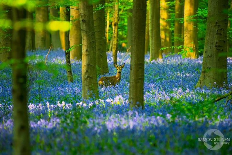 bluebells-blooming-hallerbos-forest-belgium-6.jpg