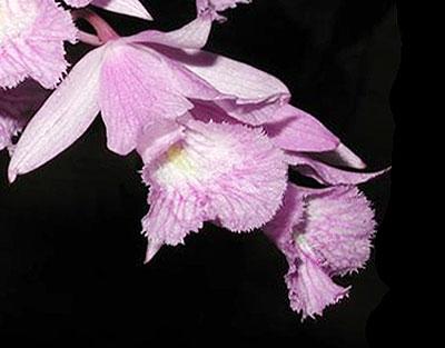 cattleyopsis_lindenii.jpg