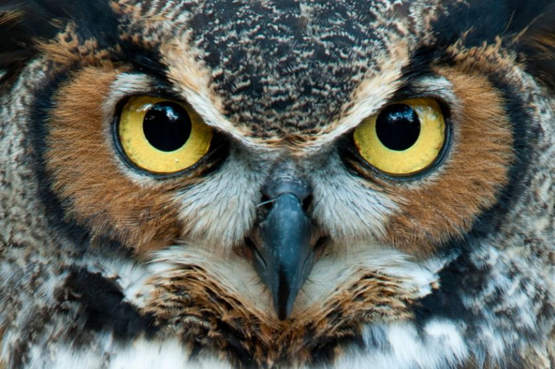 closeup-great-horned-owl.jpg.838x0_q80.jpg