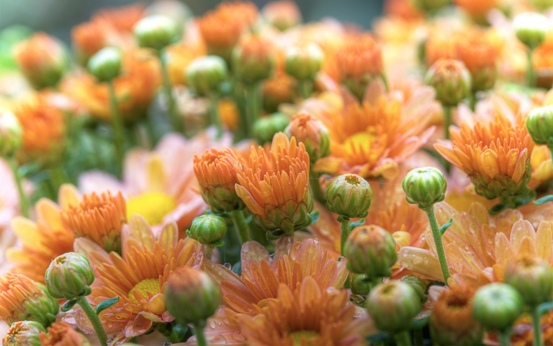 cvety-gerbery-butony-f53332e.jpg