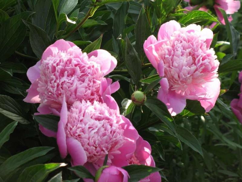 cvety-piony-rasteniya-1142.jpg