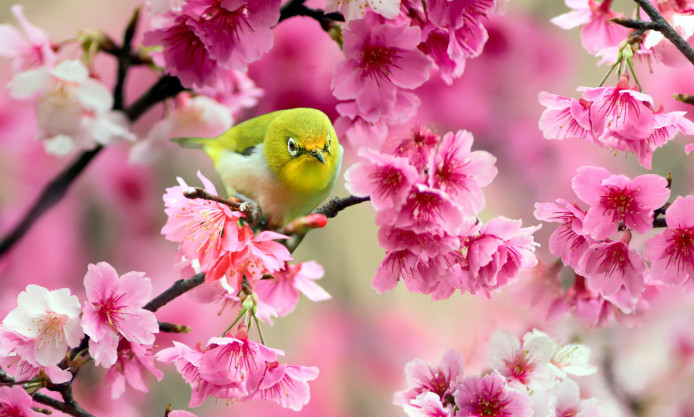 green-bird-sparrow-cherry-flowers-spring-japan-photo-hd-widescreen-694x417.jpg