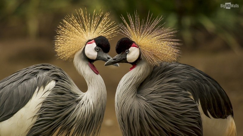 grey-crowned-crane-HD-wall.jpg