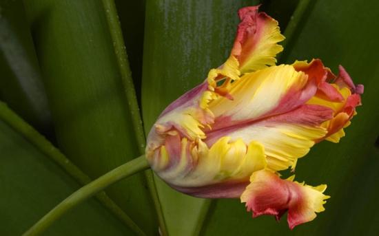 kartinki24_flowers_tulips_0007.jpg
