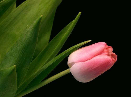 kartinki24_flowers_tulips_0009.jpg