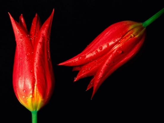 kartinki24_flowers_tulips_0014.jpg
