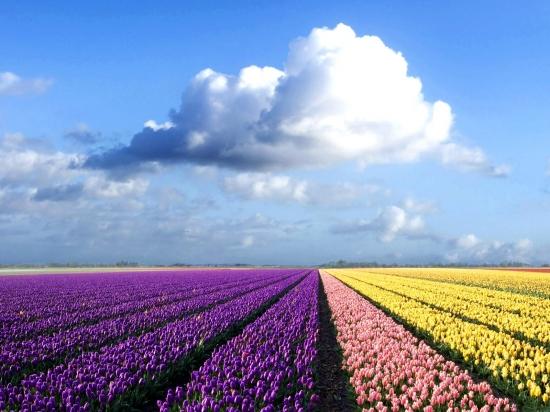 kartinki24_flowers_tulips_0041.jpg