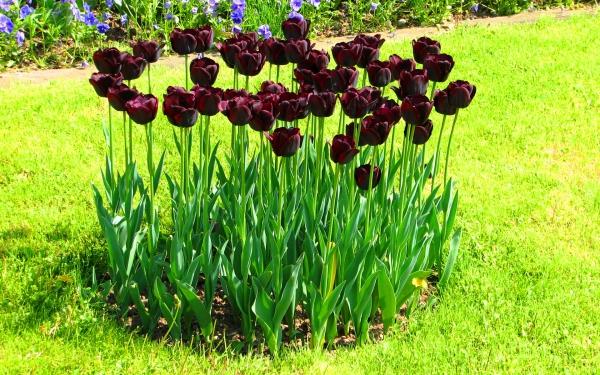 kartinki24_ru_tulips_76.jpg