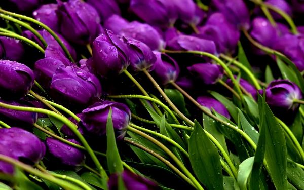 kartinki24_ru_tulips_83.jpg