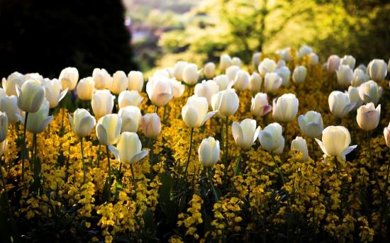 kartinki24_tulips_0044.jpg