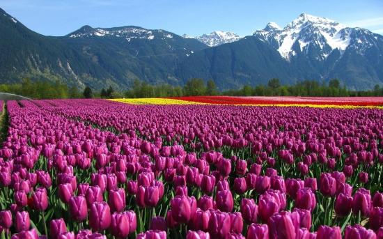 kartinki24_tulips_0820.jpg