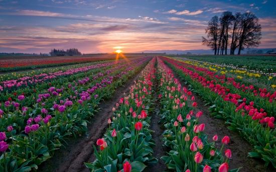 kartinki24_tulips_2760.jpg