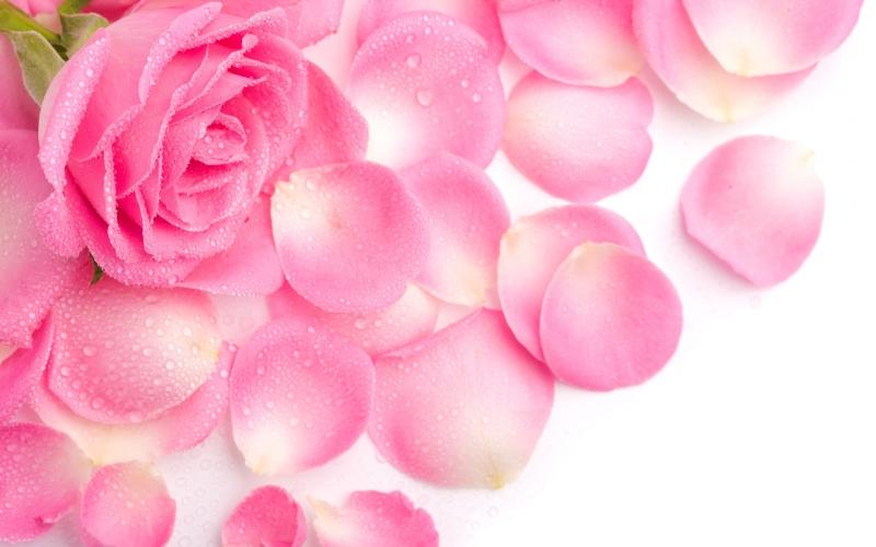 roza_lepestki_rozovaya_rosa_4240x2650.jpg