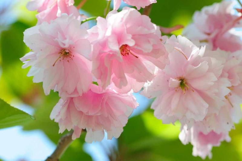 rozovye-cvety37.jpg