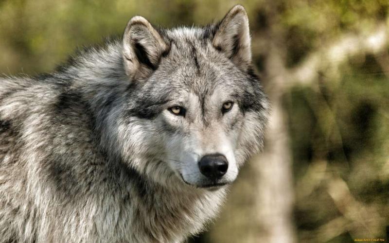 volki-zhivotnye-14376.jpg