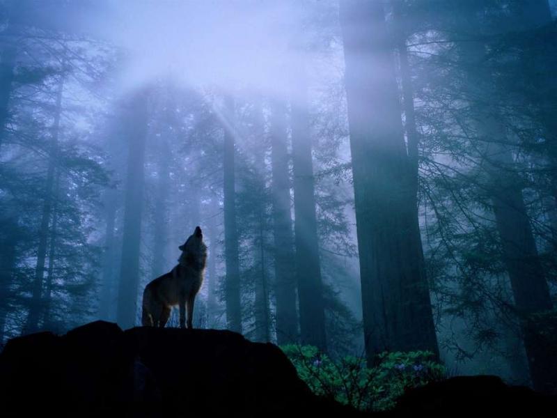 volki-zhivotnye-3409.jpg
